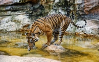 Tiger drinking water wallpaper 1920x1200 jpg