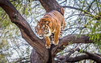 Tiger in a tree wallpaper 1920x1200 jpg