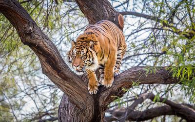 Tiger in a tree Wallpaper