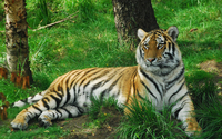Tiger in the forest wallpaper 2560x1600 jpg