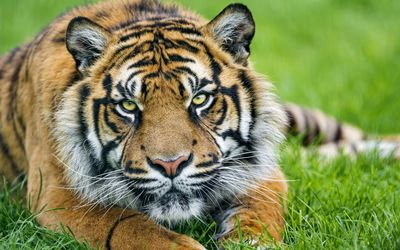 Tiger in the grass close-up wallpaper