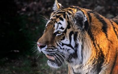 Tiger in the orange sunlight wallpaper