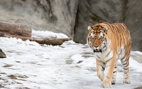 Tiger in the snow wallpaper 2560x1600 jpg
