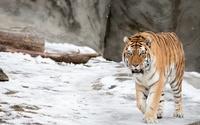 Tiger in the snow wallpaper 2560x1600 jpg