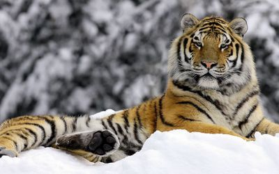 Tiger in the snow wallpaper