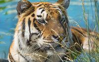 Tiger in the water wallpaper 2560x1600 jpg