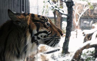 Tiger looking at the snow wallpaper