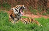 Tiger lying on the grass wallpaper 2560x1600 jpg