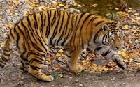 Tiger near the rocky pond wallpaper 1920x1200 jpg