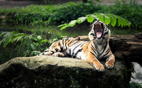 Tiger on a rock yawning wallpaper 1920x1200 jpg