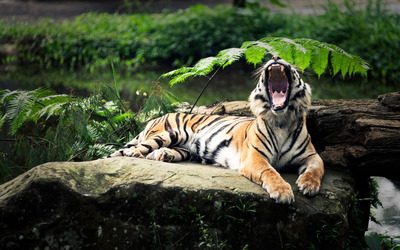 Tiger on a rock yawning wallpaper