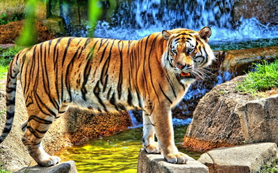 Tiger on rocks wallpaper