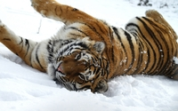 Tiger playing in the snow wallpaper 2560x1600 jpg