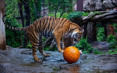 Tiger playing with a ball Wallpaper