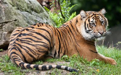 Tiger resting wallpaper