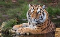 Tiger resting [2] wallpaper 1920x1200 jpg