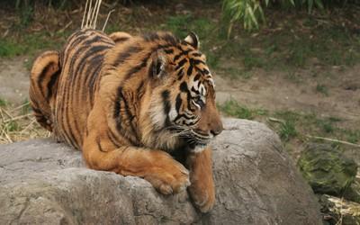 Tiger resting [4] wallpaper