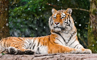 Tiger resting [3] wallpaper 2880x1800 jpg