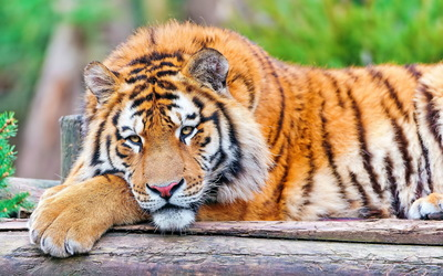 Tiger resting on a tree log wallpaper