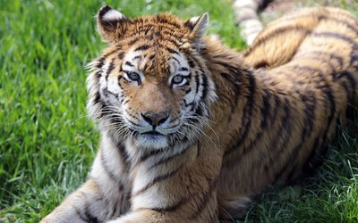 Tiger resting on the grass wallpaper