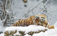 Tiger rolling in snow wallpaper 2560x1600 jpg