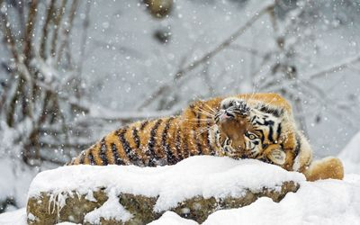 Tiger rolling in snow wallpaper