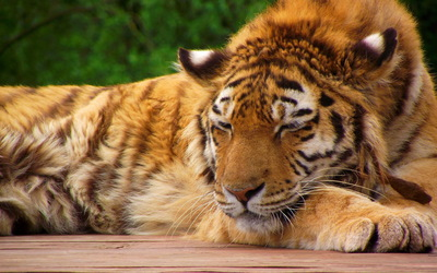 Tiger sleeping wallpaper