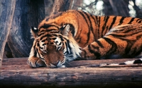 Tiger sleeping on logs wallpaper 2560x1600 jpg