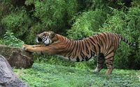 Tiger stretching wallpaper 1920x1200 jpg