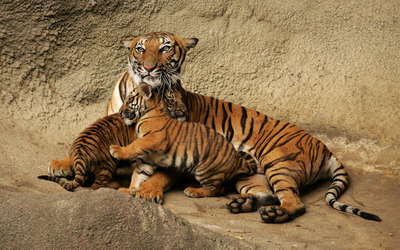 Tiger with cubs wallpaper