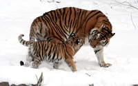 Tiger with her cub in the snow wallpaper 1920x1200 jpg