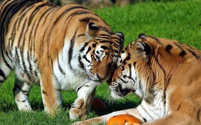 Tigers cuddling wallpaper