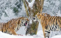 Tigers fighting wallpaper 1920x1200 jpg