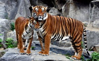 Tigers on a rock cuddling wallpaper 1920x1200 jpg