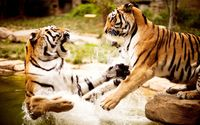 Tigers playing in the water wallpaper 2560x1600 jpg