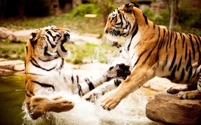 Tigers playing in the water wallpaper