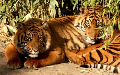 Tigers resting on the ground wallpaper