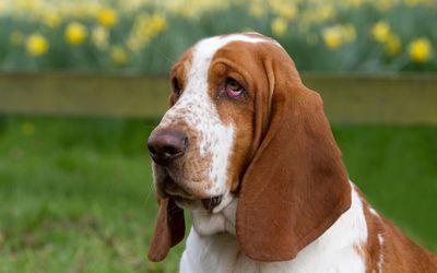 Tired Basset hound wallpaper