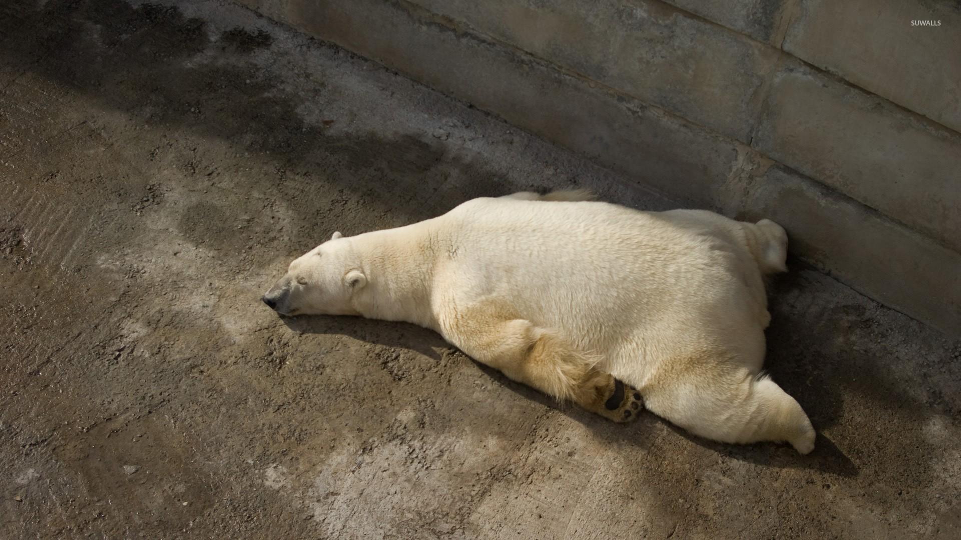 tired polar bear wallpaper - animal wallpapers - #25059