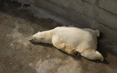 Tired polar bear wallpaper