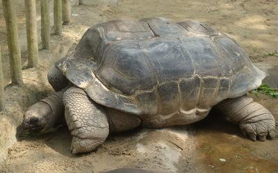 Tortoise [2] wallpaper