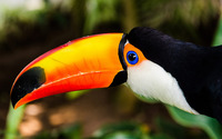 Toucan [5] wallpaper 1920x1200 jpg