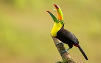 Toucan [7] wallpaper 3840x2160 jpg