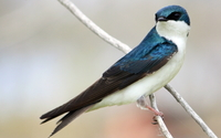 Tree swallow wallpaper 1920x1080 jpg