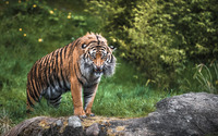 Tiger gazing with a threatening look wallpaper 1920x1200 jpg