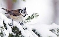 Tufted titmouse on a snowy fir branch wallpaper 1920x1080 jpg