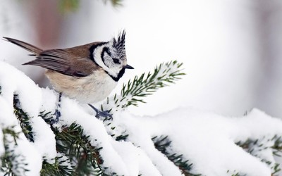 Tufted titmouse on a snowy fir branch wallpaper
