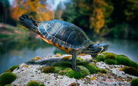 Turtle [2] wallpaper 1920x1200 jpg