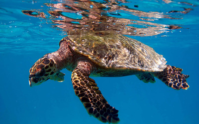 Turtle swimming in the clear blue water wallpaper