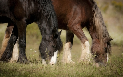 Two brown horses grazing wallpaper